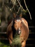 Horse in mottled sunlight eating grass. Stock Photography