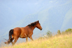 Horse in mountain Royalty Free Stock Photo