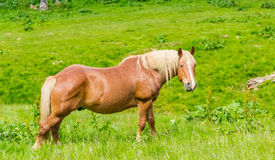 Horse on a mountain pasture Stock Image