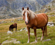 Horse in the mountains. Brown horse is looking at camera in the mountains royalty free stock photos