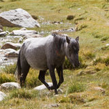 Horse in Mountains Royalty Free Stock Image