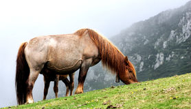 Horse. A horse in the mountains of Asturias, North of Spain Stock Image