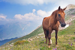 The horse in the mountains in Tibet. Picture of the horse that graze in the mountains of Tibet, the Himalayas Royalty Free Stock Images