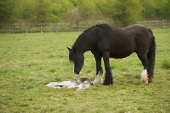 Horse mourning her still born foal Stock Photography