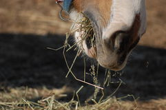 Horse mouth eating detail Royalty Free Stock Photo