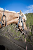 Horse in Mt.Bromo Volcano. Indonesia stock image