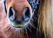 Horse mule. A close up on a horse mule Royalty Free Stock Photos