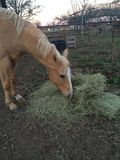Horse munching hay Stock Photos