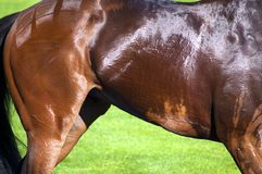 Horse muscle detail Stock Images