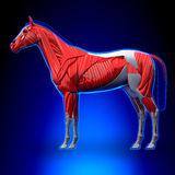 Horse Muscles - Horse Equus Anatomy - on blue background Stock Photos