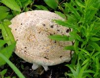 Horse Mushroom (Agaricus impudicus). Stock Images