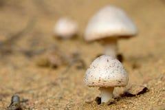 Horse Mushroom Stock Photo