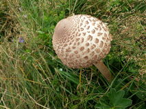 Horse mushroom on a meadow Royalty Free Stock Photography