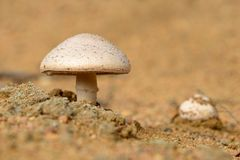 Horse Mushrooms Royalty Free Stock Photo