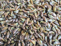 Horse Mussel Royalty Free Stock Photography