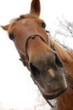 Horse muzzle. Almost isolated muzzle of brown horse Royalty Free Stock Images