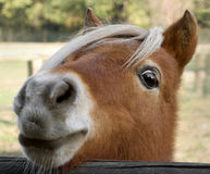 Horse Muzzle. Detail of a little pony: a brown horse muzzle Royalty Free Stock Image