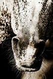 Horse Muzzle Closeup royalty free stock image