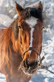 Horse. Muzzle of a horse, from his nostrils steams in the cold Royalty Free Stock Photo
