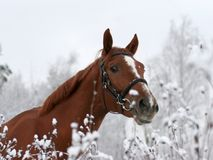 Horse on the name of Jeday watches on me. From bushes Stock Images