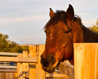 Horse named Red. Has his color enhanced by the sunset light Royalty Free Stock Photography