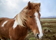 Horse in the nature of Iceland.  Royalty Free Stock Photography