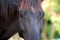 Horse on nature. Portrait of a black horse. Stock Images