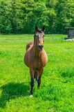 Horse on nature. Portrait of a horse, brown horse Royalty Free Stock Photography