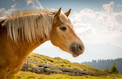 Horse on nature. Portrait of a horse, brown horse. Portrait of a horse while grazing in other mountain Stock Photography