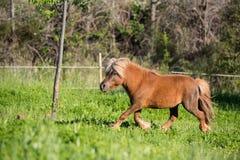 Brown horse shetland mini litle Stock Photo