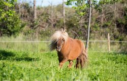 Brown horse shetland mini litle Stock Images