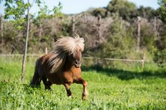Brown horse shetland mini litle Royalty Free Stock Photo