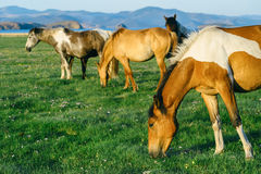 Horse in the nature reserve of Lake Baikal. Wild horses in the nature reserve of Lake Baikal. Horses owned by a local farm . Farm closed. Horses walk by stock photography