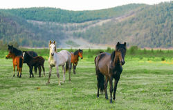 Horse in the nature reserve of Lake Baikal. Wild horses in the nature reserve of Lake Baikal. Horses owned by a local farm . Farm closed. Horses walk by royalty free stock photography