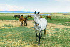 Horse in the nature reserve of Lake Baikal. Wild horses in the nature reserve of Lake Baikal. Horses owned by a local farm . Farm closed. Horses walk by stock image