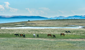 Horse in the nature reserve of Lake Baikal. Wild horses in the nature reserve of Lake Baikal. Horses owned by a local farm . Farm closed. Horses walk by royalty free stock photo