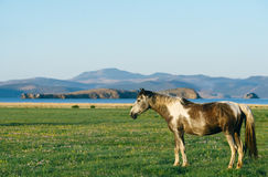 Horse in the nature reserve of Lake Baikal. Wild horses in the nature reserve of Lake Baikal. Horses owned by a local farm . Farm closed. Horses walk by stock photo