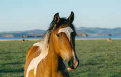 Horse in the nature reserve of Lake Baikal. Wild horses in the nature reserve of Lake Baikal. Horses owned by a local farm . Farm closed. Horses walk by stock images