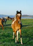 Horse in the nature reserve of Lake Baikal Stock Image