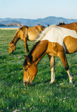 Horse in the nature reserve of Lake Baikal Stock Images