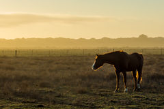Horse near Arcata. A horse stands in a farm pasture near Arcata, California Royalty Free Stock Image