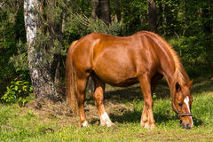 Horse. Near the forest eating a grass Stock Images