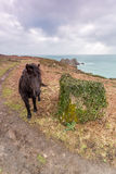 Horse near Logans rock cornwall uk Royalty Free Stock Image