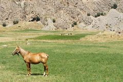 Horse near mountaineering camp Dugoba, Pamir-alay Royalty Free Stock Image