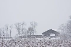 Horse near snow covered barn. Horse walking in falling snow near a rustic barn Stock Images