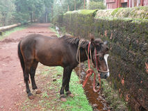 Horse. Near a wall at Matheran Royalty Free Stock Photo