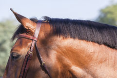 Horse Neck Head Royalty Free Stock Photos