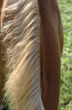 Horse neck mane. Curried neck mane of a brown horse royalty free stock images
