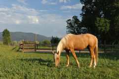 Horse in New Mexico Pasture. A quarter horse grazing in New Mexico pasture stock photo