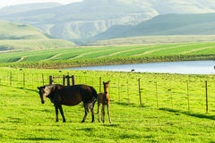 Horse Newborn Foal Farm Stock Photo